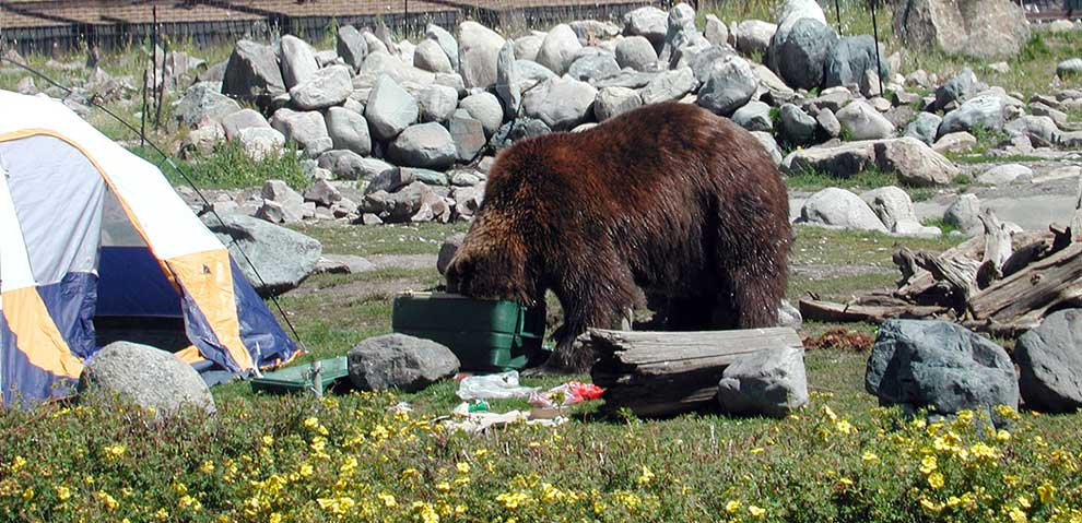 Bear looking for food