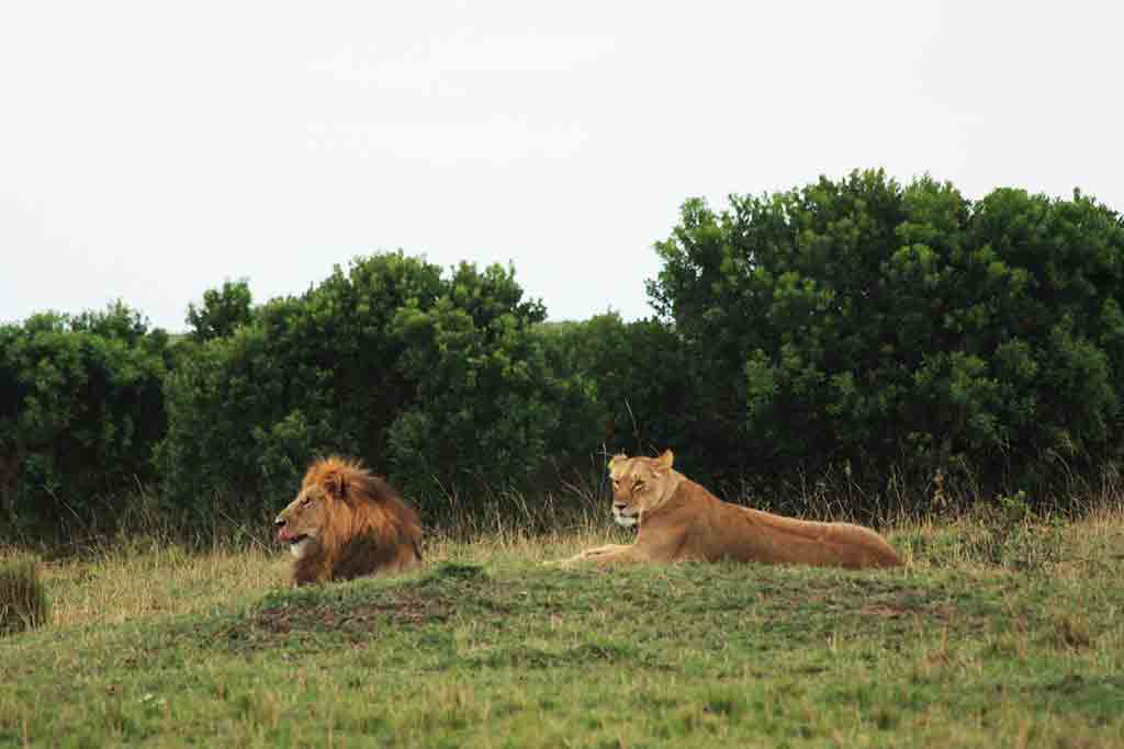 Kenya safari couple of lions